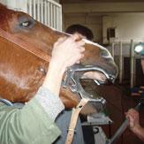 Korekcija zubi u konja