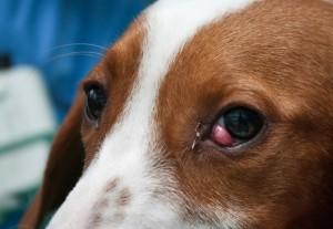 Oftalmologija - cherry eye